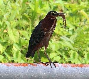 Oiseau sauvage de la martinique; le kayali (petit héron) (MARTINIQUE).jpg