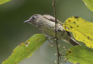 Olive-striped flycatcher species of bird