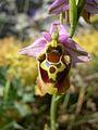 Ophrys episcopalis2.jpg