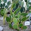 Opuntia Microdasys (10408371005).jpg