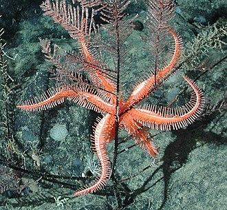 Brisingida - An orange brisingid on black coral at 1,950 m in California, Davidson Seamount