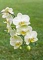 Orchidee (phalaenopsis) (actm) 02.jpg
