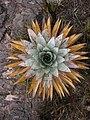 Orectanthe sceptrum above.jpg