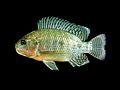 Oreochromis niloticus Thailand.jpg