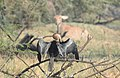 Oriental Darter Anhinga melanogaster by Dr. Raju Kasambe DSCN6918 (7).jpg