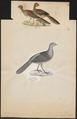 Ortalida motmot - 1700-1880 - Print - Iconographia Zoologica - Special Collections University of Amsterdam - UBA01 IZ16900095.tif