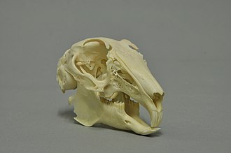 European rabbit - Skull of a European rabbit