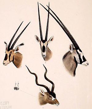 Oryx - Comparison of taxa