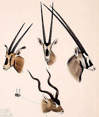 Oryx - Comparison of taxa