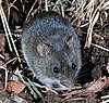 A rat, grayish above and pale below, seen from above and from the front, among reed and leaf litter.