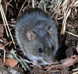 A rat, grayish above and pale below, among reed and leaf litter.