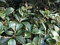 Osmanthus fragrans 20151013.JPG