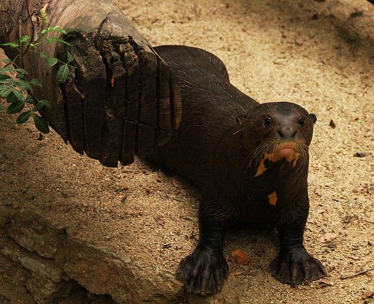 File:Otter's Webbed Feet.jpg