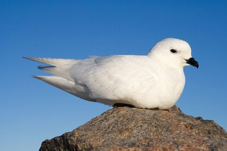 Queen Maud Land - The snow petrel is one of the species of birds found in Queen Maud Land.
