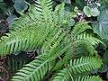 Píjara (Woodwardia radicans) y Helecho macho (Dryopteris oligodonta) - panoramio.jpg