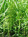 PR Vresova stran 037 Equisetum sylvaticum.jpg