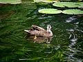 Pacific Black Duck (5152706187).jpg