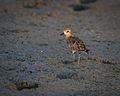 Pacific Golden Plover Thailand.jpg