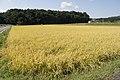 Paddy field in Kasama, Ibaraki 02.jpg
