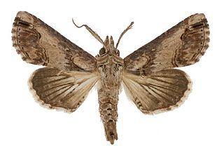 <i>Paectes</i> Genus of moths