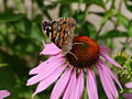 Painted lady on Echinacea purpurea-2.JPG