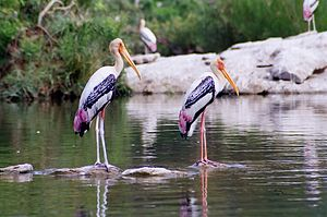 Painted storks, at Ranganathittu Bird Sanctuary