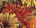 Palmaria palmata Brockhaus.jpg