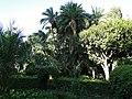 Palmeira do Senegal.JPG