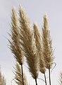 Pampas grass (3356826773).jpg