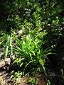 Pandanus amaryllifolius, locally known as 'daun pandan' in Indonesia.jpg