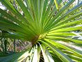 Pandanus spiralis.jpg
