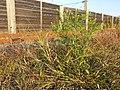 Panicum hillmanii + Lepidium virginicum (subsp. virginicum) sl7.jpg