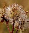 Panonski zvezdan - Tripolium pannonicum 1.jpg