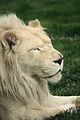Panthera leo at the Philadelphia Zoo 002.jpg