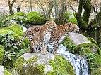 Panthera pardus kotiya - Bioparc de Doué-la-Fontaine - 2016-03-06.jpg
