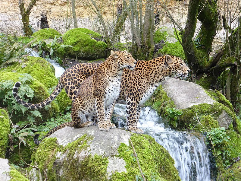 A couple of Sri Lankan leopard in the zoo of Doué-la-Fontaine, Pays de la Loire, France.