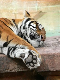 Detail tygří tlapy