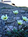 Papaver radicatum flowers.jpg