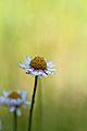 Paper Daisy (5131700428).jpg