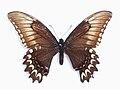 Papilio astyalus pallas Gray, -1853-.JPG