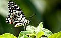 Papilio demoleus (Lime Butterfly) on leaf.JPG