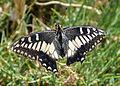 Papilio hospiton.jpg