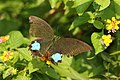 Papilio paris (36054415692).jpg