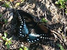 Papilio troilus Linne (1) .jpg