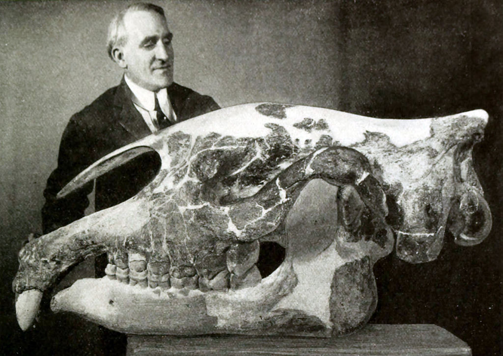 Paraceratherium transouralicum skull