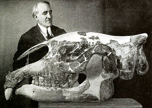 Paraceratherium - Preparator Otto Falkenbach with P. transouralicum skull (specimen AMNH 18650), formerly assigned to Baluchitherium grangeri, American Museum of Natural History