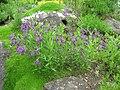 Paramoltkia doerfleri - Berlin Botanical Garden - IMG 8499.JPG