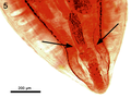 Parasite180037-fig2 FIG 5 Cathayacanthus spinitruncatus.png