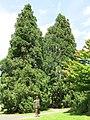 Parc Fenestre (group of Sequoiadendron giganteum).jpg