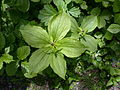 Paris quadrifolia plants.jpg
